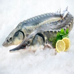 Cá Tầm Việt Nam (Sống) 1.5-3 kg/Con